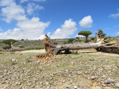 A dragon blood tree lies on the ground after a cyclone uprooted it in Yemen's Socotra island November 10, 2015. REUTERS/Stringer